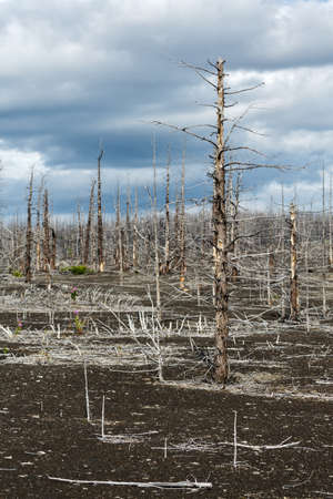 lifeless: Lifeless desert landscape of Kamchatka: Dead wood (Tolbachik Volcano lava field). Far East, Russia, Kamchatka Peninsula.