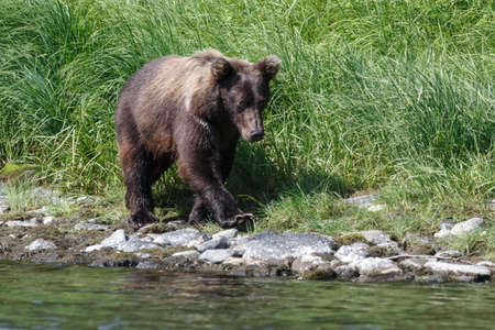 kamchatka: Wild nature Kamchatka Peninsula: young Kamchatka brown bear walks along the river bank on a sunny day. Russia, Far East, Kamchatka.