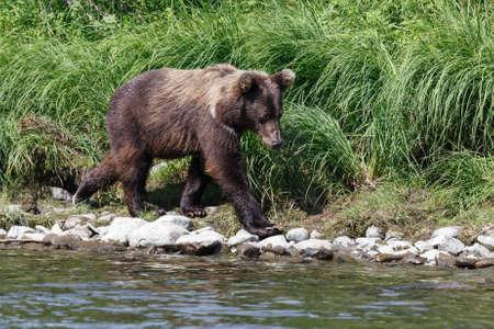 far east: Wildlife Kamchatka Peninsula: young Kamchatka brown bear walks along the river bank on a sunny day. Kamchatka, Far East, Russian Federation. Stock Photo