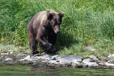 far east: Vida Silvestre de Kamchatka: joven oso pardo Kamchatka paseos por la orilla del río en un día soleado. Península de Kamchatka, Extremo Oriente, Rusia.