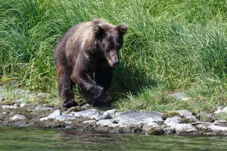 far east: Wildlife Kamchatka: young Kamchatka brown bear walks along the river bank on a sunny day. Kamchatka Peninsula, Far East, Russia.