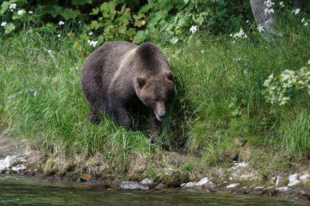 far east: Wildlife Kamchatka Peninsula: Kamchatka brown bear is a bear on the trail along the river. Kamchatka, Far East, Russian Federation.