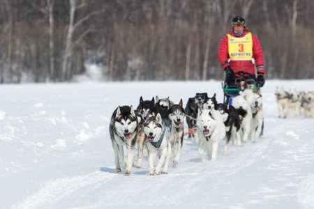 to go sledding: KAMCHATKA, RUSSIA - MARCH 9, 2013: Running dog sledge team Kamchatka musher Andrew Semashkin. Traditional Kamchatka extreme Sled Dog Racing Beringia. Russian Federation, Far East, Kamchatsky Krai.