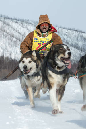 to go sledding: KAMCHATKA, RUSSIA - MARCH 9, 2013: Running dog sledge team Kamchatka musher Andrew Pritchin. Traditional Kamchatka extreme Dog Sled Racing Beringia. Russian Federation, Far East, Kamchatka Peninsula.