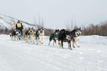 to go sledding: KAMCHATKA, RUSSIA - MARCH 9, 2013: Running dog sledge team Kamchatka musher Kutynkavav Eugene. Traditional Kamchatka extreme Sled Dog Racing Beringia. Russian Federation, Far East, Kamchatka Peninsula.