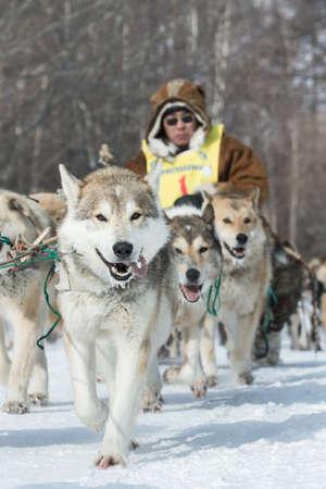 to go sledding: KAMCHATKA, RUSSIA - MARCH 9, 2013: Running dog sledge team Kamchatka musher Ivan Nivani. Traditional Kamchatka extreme Dog Sledge Race Beringia. Russian Federation, Far East, Kamchatka Peninsula.