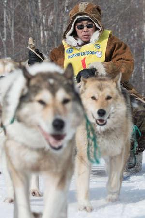 to go sledding: KAMCHATKA, RUSSIA - MARCH 9, 2013: Running dog sledge team Kamchatka musher Nivani Ivan. Traditional Kamchatka extreme Dog Sled Racing Beringia. Russian Federation, Far East, Kamchatka Peninsula.