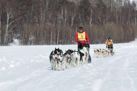 to go sledding: KAMCHATKA, RUSSIA - MARCH 9, 2013: Running dog sledge team Kamchatka musher Andrew Semashkin. Traditional Kamchatka extreme Dog Sledge Race Beringia. Russian Federation, Far East, Kamchatka Peninsula.