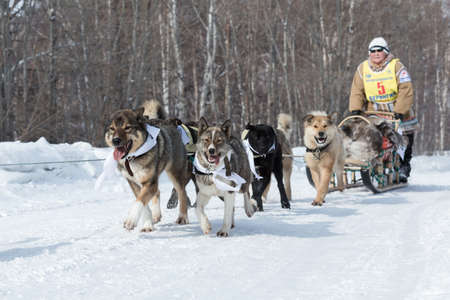 to go sledding: KAMCHATKA, RUSSIA - MARCH 9, 2013: Running dog sledge team Kamchatka woman musher Bayshuakova Margarita. Traditional Kamchatka extreme Dog Sledge Race Beringia. Russian Federation, Far East, Kamchatka Peninsula. Editorial