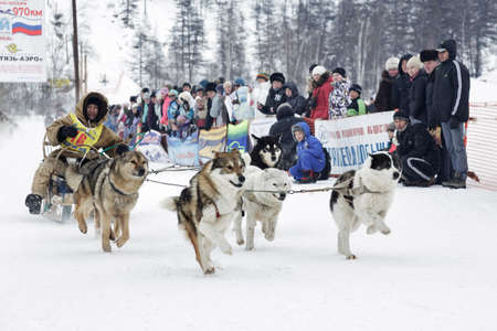 to go sledding: ESSO VILLAGE, KAMCHATKA, RUSSIA - MARCH 8, 2013: Running dog sledge team Kamchatka musher Valery Chuprin. Kamchatka extreme Sled Dog Racing Beringia. Eurasia, Russian Far East, Kamchatsky Krai, Bystrinsky Region, Esso Village.