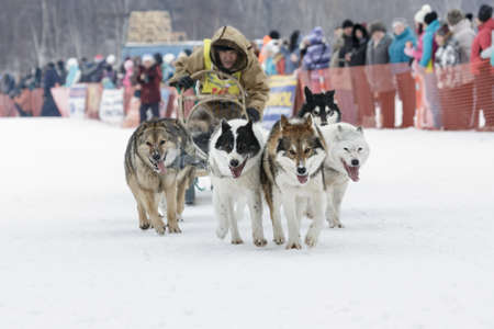 to go sledding: ESSO VILLAGE, KAMCHATKA, RUSSIA - MARCH 8, 2013: Running dog sledge team Kamchatka musher Valery Chuprin. Kamchatka traditional Sled Dog Race Beringia. Eurasia, Russian Far East, Kamchatsky Krai, Bystrinsky Region, Esso Village.