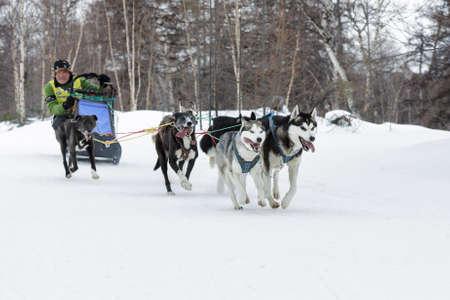 to go sledding: ESSO VILLAGE, KAMCHATKA, RUSSIA - MARCH 8, 2013: Running dog sledge team Kamchatka musher Andrey Semashkin. Kamchatka extreme Dog Sled Race Beringia. Eurasia, Russian Far East, Kamchatsky Krai, Bystrinsky Region.