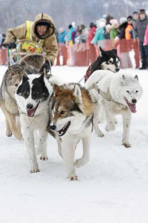 to go sledding: ESSO VILLAGE, KAMCHATKA, RUSSIA - MARCH 8, 2013: Running dog sledge team Kamchatka musher Chuprin Valery. Kamchatka extreme Sledge Dog Racing Beringia. Eurasia, Russian Far East, Kamchatsky Krai, Bystrinsky Region, Esso Village.