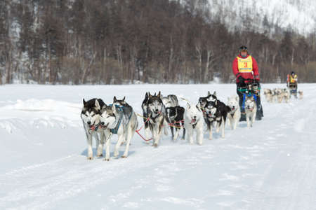 to go sledding: KAMCHATKA PENINSULA, RUSSIA - MARCH 9, 2013: Running dog sledge team Kamchatka musher Andrey Semashkin. Traditional Kamchatka extreme Dog Sled Racing Beringia. Russian Federation, Far East, Kamchatka.