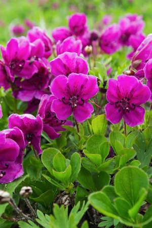 lejano oriente: La flora de la península de Kamchatka: la belleza flores de color púrpura rododendro camtschaticum. Eurasia, Lejano Oriente ruso, Kamchatka Región.