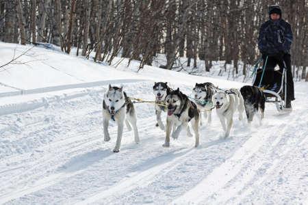 mushing: KAMCHATKA REGION, RUSSIAN FEDERATION - FEBRUARY 5, 2012: Male musher drives dog sledding (dog sled) on snowy road in winter forest on Kamchatka Peninsula (Far East Russia).