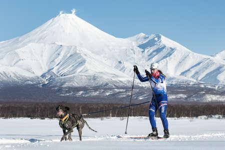 mushing: PETROPAVLOVSK, KAMCHATKA PENINSULA, RUSSIA - DEC 10, 2016: Skijoring - competition for Cup of Kamchatka Region on background of Avacha Volcano. Skier-racer Klimova Galina and sled dog kurtshaar Argo.