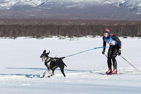 mushing: PETROPAVLOVSK-KAMCHATSKY, KAMCHATKA PENINSULA, RUSSIA - DECEMBER 10, 2016: Skijor races - competition for Cup of Kamchatka Region. Sportswoman skier-racer Natalia Orekhova and a dog named Geyser.