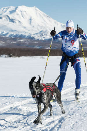 mushing: PETROPAVLOVSK, KAMCHATKA, RUSSIA - DEC 10, 2016: Skijor races - competition for Cup of Kamchatka Region on background of Avacha Volcano. Sportswoman skier-racer Saratseva Svetlana and sled dog Roxy. Editorial