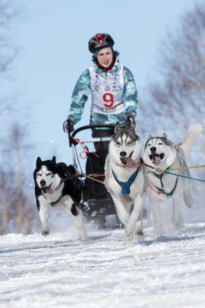 mushing: PETROPAVLOVSK-KAMCHATSKY, KAMCHATKA PENINSULA, RUSSIA - FEBRUARY 23, 2017: Runs dog sled young Kamchatka musher Grishina Elizabeth. Kamchatka Kids Competitions Sled Dog Race Dyulin (Beringia).