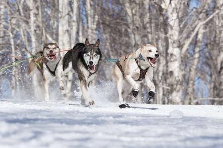 mushing: PETROPAVLOVSK-KAMCHATSKY, KAMCHATKA PENINSULA, RUSSIA - FEBRUARY 23, 2017: Runs dog sled Alaskan husky musher Krivogornitsyna Kristina. Kamchatka Kids Competitions Sled Dog Race Dyulin (Beringia). Editorial