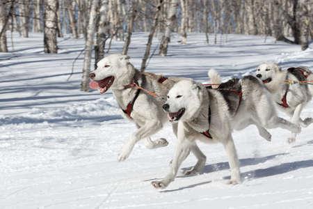 mushing: PETROPAVLOVSK-KAMCHATSKY, KAMCHATKA PENINSULA, RUSSIA - FEBRUARY 23, 2017: Kamchatka Kids Competitions Sled Dog Race Dyulin (Beringia). Runs dog sled young Kamchatka musher Elizabeth Popova.