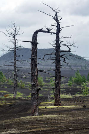 Kamchatka volcanic landscape: burnt trees (larch) on volcanic slag and ash in Dead Wood (Dead Forest) - consequence of natural disaster - catastrophic eruptions Tolbachik Volcano during on 1975-1976.