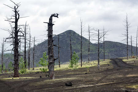lejano oriente: Kamchatka volcano landscape: burnt trees (larch) on volcanic slag and ash in Dead Wood (Dead Forest) - consequence of natural disaster - catastrophic eruptions Tolbachik Volcano during on 1975-1976.