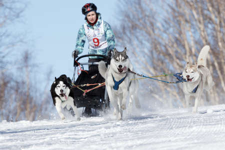 mushing: PETROPAVLOVSK-KAMCHATSKY, KAMCHATKA PENINSULA, RUSSIA - FEBRUARY 23, 2017: Runs dog sled young Kamchatka musher Elizabeth Grishina. Kamchatka Kids Competitions Sled Dog Race Dyulin (Beringia). Editorial