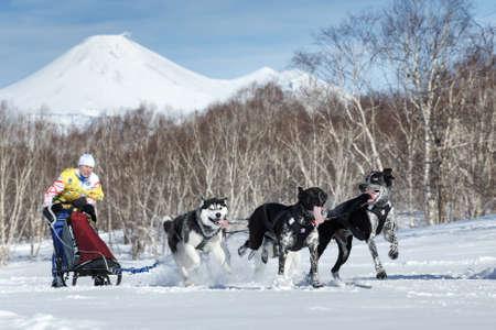PETROPAVLOVSK, KAMCHATKA PENINSULA, RUSSIA - FEB 25, 2017: Running sled dog team (eurodog, siberian husky, norwegian half-breed) Kamchatka musher Orehova Natalia. Kamchatka Sled Dog Racing Beringia, Russian Cup of Sled Dog Racing (snow disciplines) Editorial