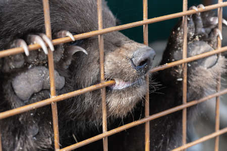Angry Kamchatka brown bear (Ursus arctos piscator) keeps paws with large claws for an aviary lattice in the zoo and gnaws at it. Banco de Imagens