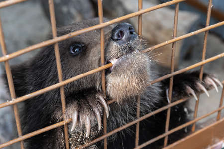 A small Kamchatka brown bear cub (Ursus arctos piscator) gnaws an aviary lattice in a zoo.