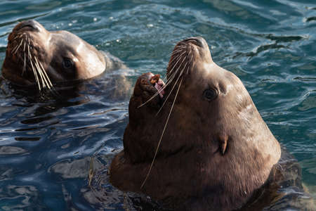 Wild Steller Sea Lion or Northern Sea Lion (Eumetopias Jubatus) with open mouth and teeth fangs swims in cold waves Pacific Ocean. Avacha Bay, Kamchatka Peninsula, Russian Far East, Eurasia.