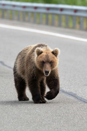 Hungry wild Kamchatka brown bear walking along an asphalt road and looks ahead. Kamchatka Peninsula, Russian Far East, Eurasia. Banco de Imagens