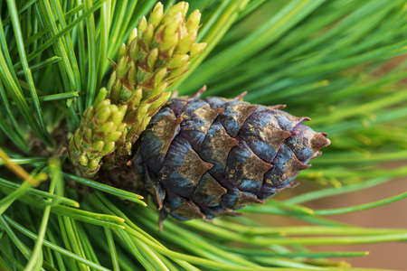 Cones of evergreen dwarf Siberian pine (Pinus Pumila). Close-up natural floral background, Christmas spirit. Stock Photo