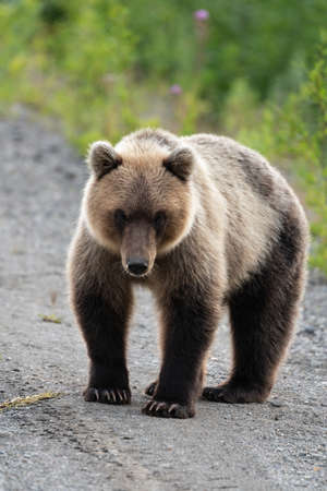 Full-length portrait of terrible hungry Kamchatka brown bear (Ursus arctos piscator) standing, heavily breathing, sniffing and looking at camera. Kamchatka Peninsula, Eurasia, Russian Far East. Banco de Imagens