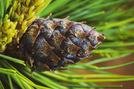 Cone with nut of dwarf stone pine (Pinus Pumila). Close-up floral background, Christmas mood. Vintage instant color photo effect, colorful picture with toned filter.
