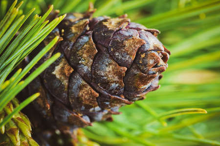 Cone with nut of dwarf stone pine (Pinus Pumila). Close up natural floral background, Christmas mood. Vintage instant color photo effect, colorful picture with toned filter. Imagens