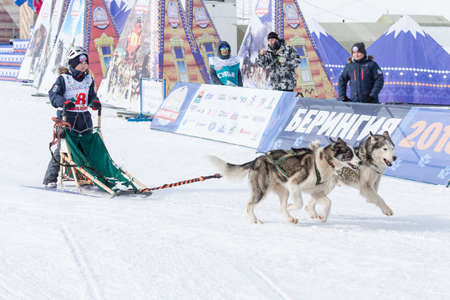 Male child mushing sled dog team, running on snowy race distance during Kamchatka Kids Competitions Dog Sled Racing Dyulin (Beringia). Petropavlovsk City, Kamchatka Peninsula, Russia - March 1, 2018 에디토리얼