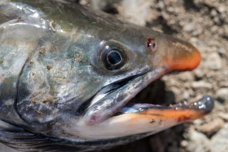 Close-up view of snout wild salmonid fish Salvelinus often called charr or char with pink spots over darker body. Summer fishing with spinning and fishing rod. 스톡 콘텐츠