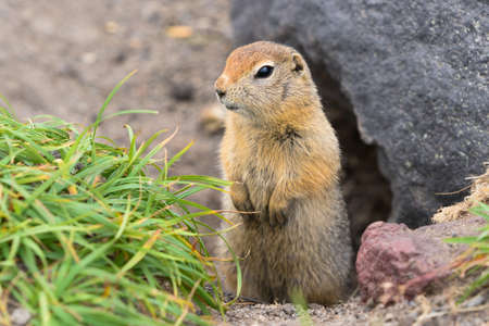 Arctic ground squirrel, carefully looking so as not to fall into jaws of predatory beasts. Close-up portrait wild animal of genus rodents of squirrel family. Asia, Russian Far East, Kamchatka Region.