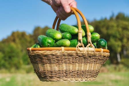 Farmer hand holding wicker basket with lot freshness green cucumbers on background of autumn forest and blue sky