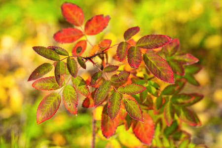 Close-up view of rosehip bush, orange and yellow leaves of bush. Beautiful autumn multicolored still life, background Фото со стока