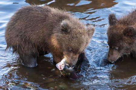 Brown bear cub fishing red salmon fish in river during spawning, eat fish standing in water. Wild animals children in natural habitat. Kamchatka Peninsula, Russian Far East, Eurasia