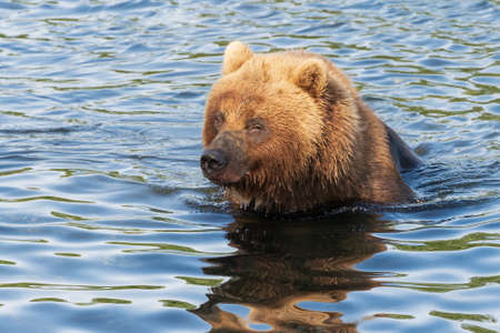 Hungry Kamchatka brown bear stands in river, looking around in search of food - red salmon fish. Wild beast fishing during spawning. Animal in natural habitat. Asia, Russian Far East, Kamchatka Region Фото со стока