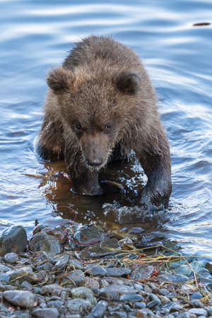Cute brown bear cub stands on river bank while fishing red salmon fish. Wild animal child in natural habitat. Asia, Russian Far East, Kamchatka Region Фото со стока