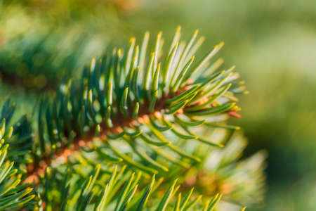 Natural branch pine Christmas tree with needles growing in forest on sunny day. Macro shot, close-up soft and airy view of green spruce. Selective soft focus on foreground, blurry bokeh on background. Stockfoto