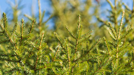 Evergreen branches of Christmas tree in pine forest. Close-up view of fir natural fir branches ready for festive decoration for Xmas and Happy New Year, decorate holiday winter season background.