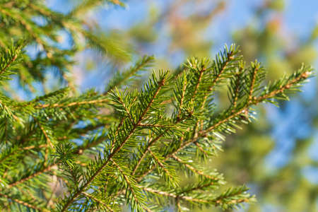 Natural evergreen branches with needles of Xmas tree in pine forest. Close-up view of fir branches ready for festive decoration for Happy New Year and Christmas, decorate holiday winter season designs