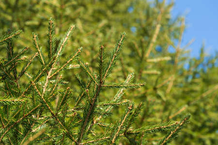 Natural evergreen branches with needles of Xmas tree in pine forest. Close-up view of fir branches ready for festive decoration for Happy New Year, Christmas, decorate holiday winter season background Stockfoto